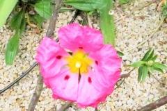 Cistus Rose